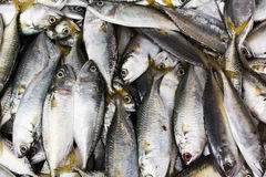 Fresh mackerel fish. Stock Photo