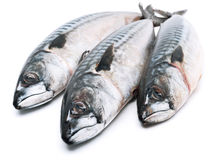 Free Fresh Mackerel Fishes Royalty Free Stock Image - 36549856