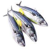 Fresh mackerel fishes isolated. Three mackerel fresh raw fishes closeup decorated with lemon isolated Stock Images