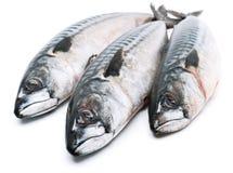 Fresh mackerel fishes. Isolated on white Royalty Free Stock Image