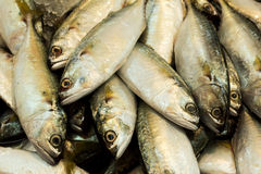 Fresh mackerel fishes in local fish market. Stock Photography