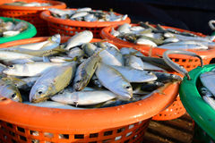 Fresh mackerel fishes in the plastic basket Royalty Free Stock Photography