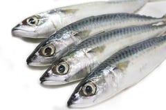 Fresh mackerel fishes. On white background Royalty Free Stock Images