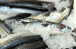 Fresh Mackerel Stock Photos