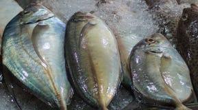 Fresh mackerel on ice Stock Photos