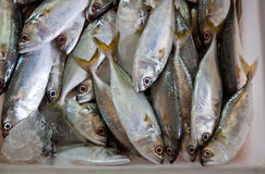 Fresh mackerel for sale in the market. Royalty Free Stock Images