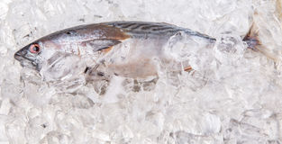 Fresh Mackerel Tuna I Stock Photography