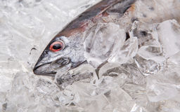Fresh Mackerel Tuna II Stock Photos