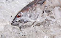 Fresh Mackerel Tuna II Stock Photos