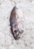 Fresh Mackerel Tuna IV Stock Photography