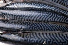 Fresh mackerels Royalty Free Stock Images
