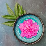 Fresh magenta peony flower in a plate on blue background. Square Stock Photo