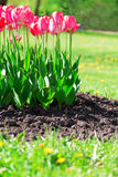 Fresh magenta tulips with grass and soil Stock Photo
