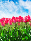 Fresh magenta tulips with sky Stock Photography