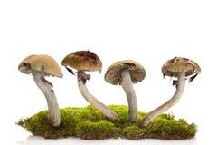 Free Fresh Magic Mushrooms On Moss Isolated Over White Background Stock Photography - 140199592
