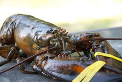 Fresh Maine Lobster. Really fresh Maine lobster with claw bands royalty free stock images