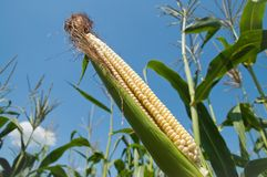 Fresh maize Royalty Free Stock Photography