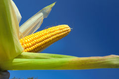 Fresh maize Royalty Free Stock Images
