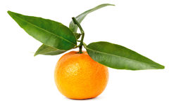 Fresh mandarin with branch and green leaves. Juicy ripe tangerines on a branch with green leaves Royalty Free Stock Photos