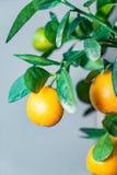 Fresh Mandarin Oranges fruit with leaves on Mandarin tree Stock Photo