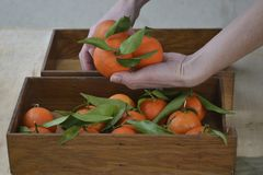 Fresh mandarin oranges fruit or tangerines with leaves on the wooden background. Female hands holding ripe mandarins, close up stock image