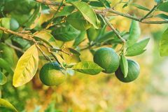 Fresh mandarines fruits with green leaves on tangerine tree on summer greenery background in sunny day.  stock photography