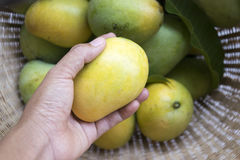 Fresh mango. Hand picking ripe mango from basket royalty free stock photo
