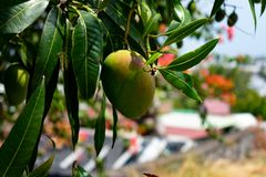 Fresh mango hanging from tree on front of tropical village stock image