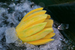 Fresh mango on ice Royalty Free Stock Images