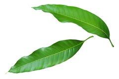Fresh Mango Leaves Isolated on White Background. Fresh Green Mango Leaves Isolated on White Background royalty free stock images