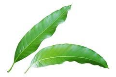 Fresh Mango Leaves Isolated on White Background. Fresh Green Mango Leaves Isolated on White Background royalty free stock image