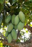 Fresh Mango on Tree Stock Photography