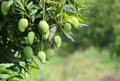 Fresh mango on tree Royalty Free Stock Images
