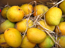 Fresh Mangoes. Indian alphonso breed mangoes in dried grass for maturing Royalty Free Stock Photography