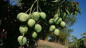 Fresh Mangoes Royalty Free Stock Photos