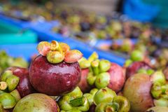 Fresh mangosteen fruit after harvest waiting to be sold. Stock Photo