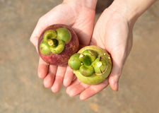 Fresh Mangosteen, popular fruit in Thailand Stock Image