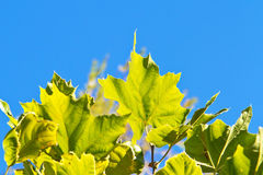 Fresh maple green leaves Stock Photography