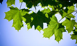 Fresh maple leaves. Fresh green maple leaves on a blue sky background Stock Photography
