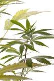 Fresh Marijuana Plant Leaves on White Background. Close up Fresh Cannabis or Marijuana Plant Leaves for Psychoactive Drug or Medicine, Isolated on White Royalty Free Stock Photo