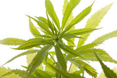 Fresh Marijuana Plant Leaves on White Background. Close up Fresh Cannabis or Marijuana Plant Leaves for Psychoactive Drug or Medicine, Isolated on White Royalty Free Stock Images
