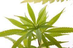 Fresh Marijuana Plant Leaves on White Background Stock Images