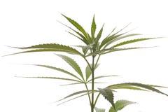 Fresh Marijuana Plant Leaves on White Background Royalty Free Stock Images