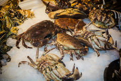 Fresh marine crabs on ice. Fresh marine crabs displayed on crushed ice at a seafood market or fisheries to be used in gourmet seafood cuisine and cookery Royalty Free Stock Image