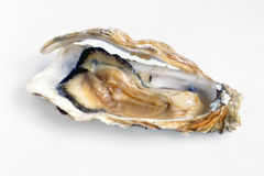 Fresh marine oyster. Close up view of an opened fresh marine oyster showing the succulent flesh ready to be consumed raw as a seafood delicacy Stock Photography