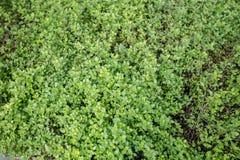 Fresh marjoram. Green fresh marjoram in garden Stock Photos