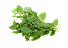 Fresh marjoram herb Stock Image