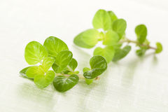 Fresh marjoram. Royalty Free Stock Images
