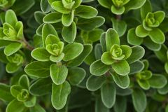 Fresh marjoram Stock Images
