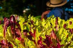 Fresh market lettuce royalty free stock photos